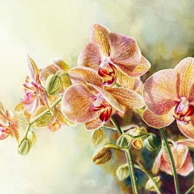 33-Phalaenopsis-10_-x-14.5_-watercolour