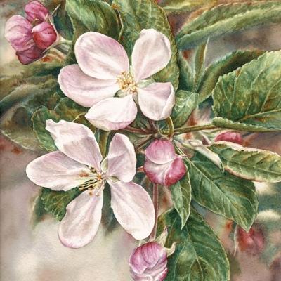 41-Apple-Blossom-8_-x-10_-watercolour